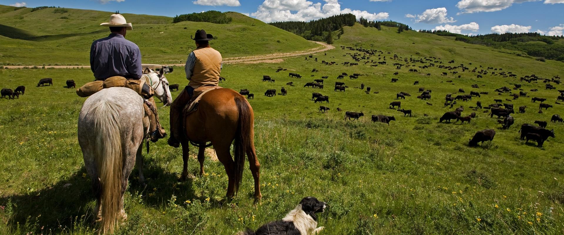 Cowboys And Dog Herding Cattle Lrg Header High Plains