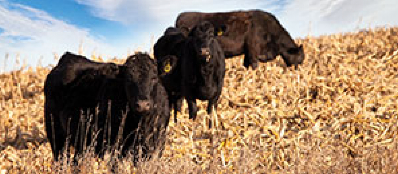 High Plains Cattle Supply Preferred Seedstock Providers